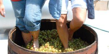 Grapes Stomping
